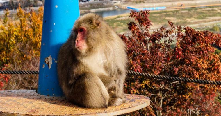 [Kyôto] Le Monkey Park Iwatayama : singes et vue magnifique