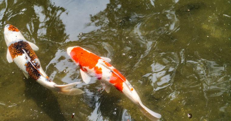 [Hiroshima] Balade au jardin Shukkei-en
