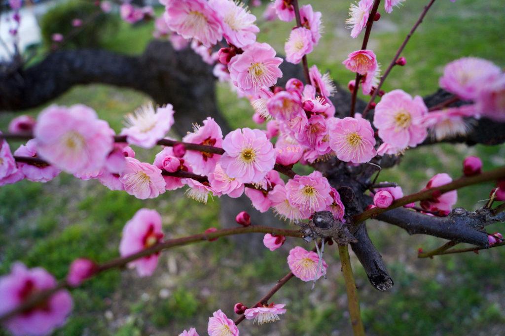 Floraison des Ume