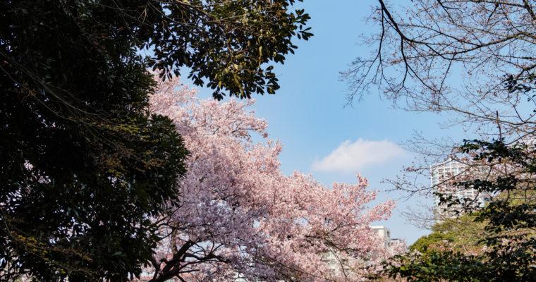 Sakura au Parc Shinjuku Gyoen, 新宿御苑